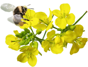Bee pollinating rapeseed