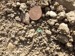 rapeseed leaf