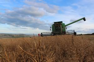 Harvesting Rapeseed